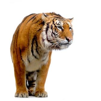 Тигр стоя изолирован.