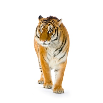Tiger standing up isolated.
