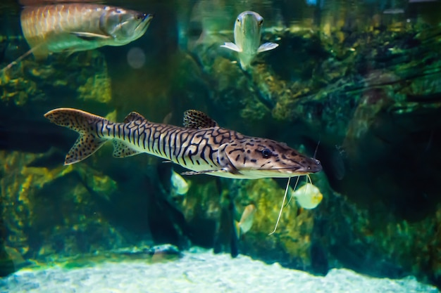 珊瑚礁の間の水に浮かぶタイガーストライプナマズ水族館ライト