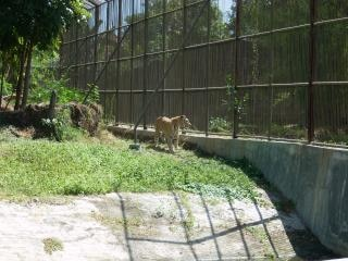 Tiger at surabaya zoo
