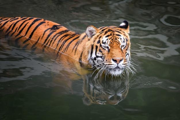 Тигр плавает в водоеме. дикое животное в естественной среде обитания
