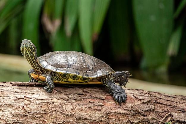 호랑이 거북이 호수에서 나무 줄기에 일광욕.