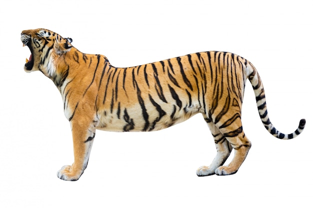 Tiger white background isolate full body