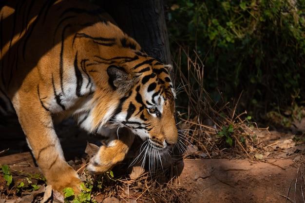 Tiger wildlife mammal predator, wild carnivore animal, bengal tiger showing in zoo