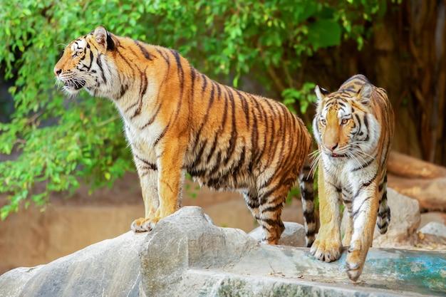 トラは国の自然の中にあります。