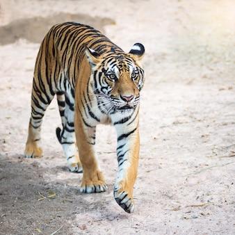 Тигры вошли, чтобы найти то, что им было интересно.