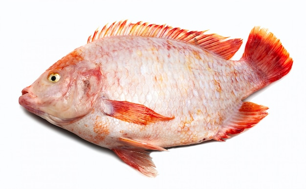 Tilapia fish, tilapia, freshwater fish, white backdrop