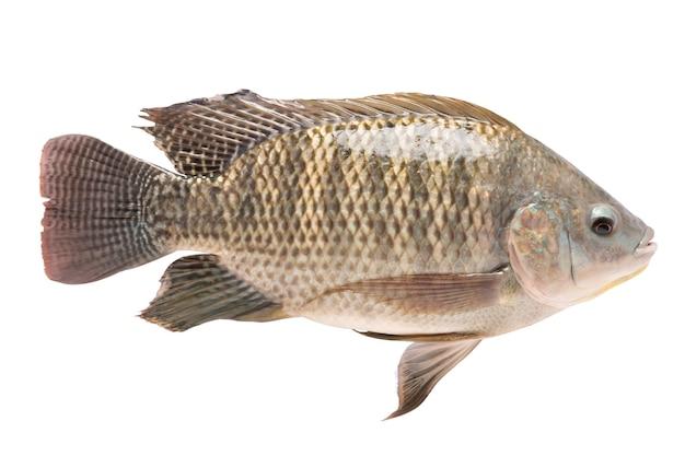 Tilapia in isolated. tilapia nilotica. freshwater fish. oreochromis niloticus. nile tilapia.