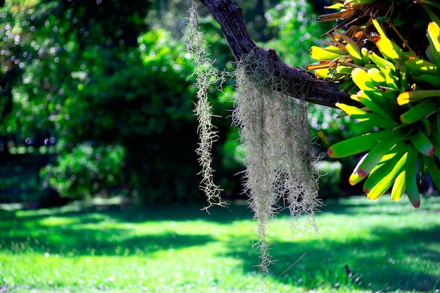 Tillandsia usneoides or spanish moss decoration hang on a tree in the garden