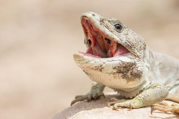 Взрослый самец ящерицы сьерра-невада (timon nevadensis)