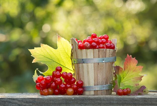 Tin bucket full of ripe guelder rose (viburnum) berries on garden