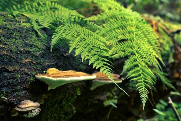 Грибы трутовика на упавшем толстом дереве с зелеными папоротниками. на дереве красивый мох. зеленые тона. выборочный фокус.