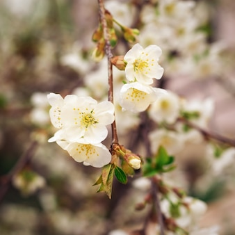 Tinted image of a cherry blossom branch in spring. spring flowering.