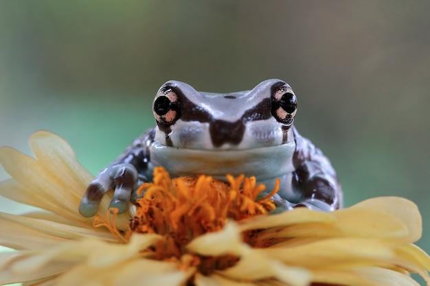 Tiny amazon milk frog on branch