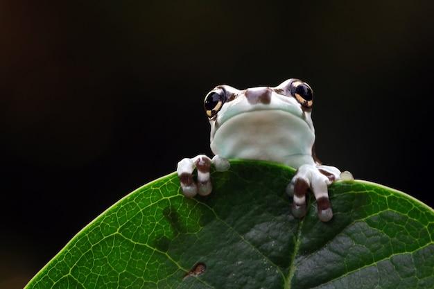 녹색 잎에 작은 아마존 우유 개구리 팬더 곰 청개구리