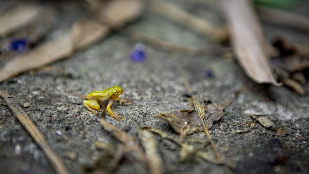 Tiny baby frog rest on edge of pond. asian taipei hyla chinensis tadpole is sitting, just metamorphosed. a little chinese green tree toad stay on leaf in taiwan.