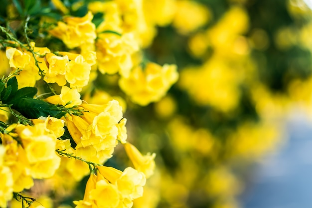 Tiny beautiful blossom yellow flower bushes wall along street background