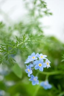 녹색 잎에 작은 파란색 물 망 초 꽃 myosotis sylvatica는 표면을 흐리게