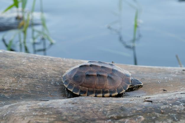 Крошечная коричневая черепаха живет на старом входе в маленький пруд