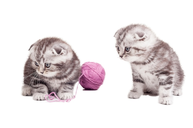 Крошечные милашки. два милых шотландских вислоухих котенка сидят возле шерстяного клубка и смотрят в сторону