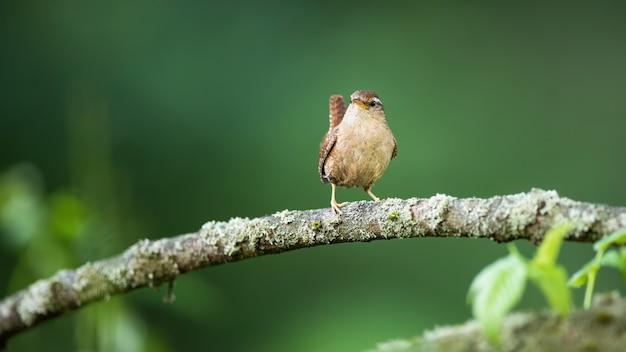Крошечный крапивник позирует на ветке лишайника с поднятым хвостом
