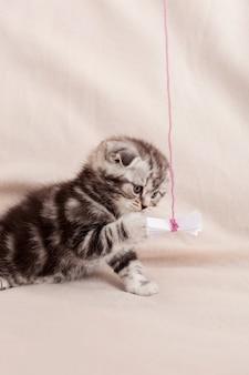 Крошечное животное из семейства кошачьих. любопытный маленький шотландский вислоухий котенок играет с листом бумаги