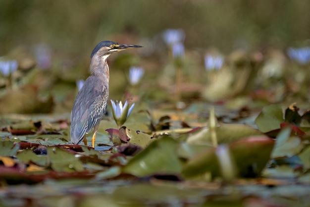 먹이를 찾아 호수 위를 걷는 작은 헤론
