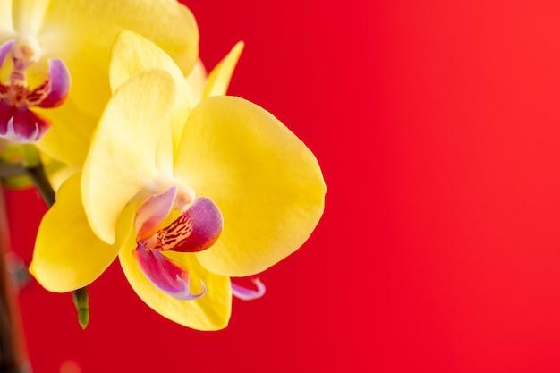 赤い背景の上の小さな蘭の花がクローズアップ