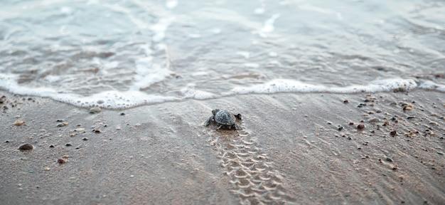 ビーチで波を見ている小さなウミガメの赤ちゃん、濡れた砂の上で足ひれのトラック
