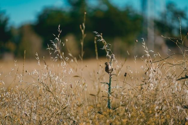 日光の下で野原の草の上に立っている小さなスズメ