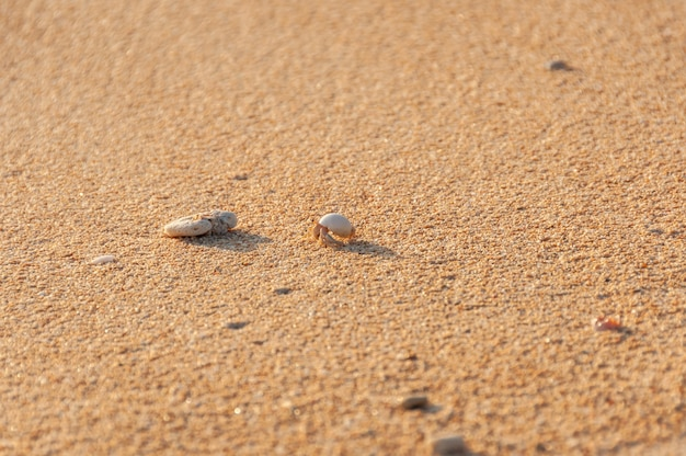 Tiny terrestrial hermit crab walking on the sand illuminated by sunset light