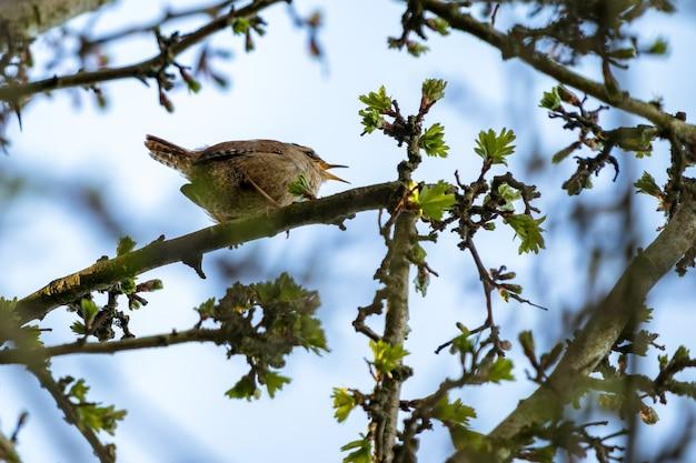 산사나무속의 작은 굴뚝새(trogodytes troglodytes)