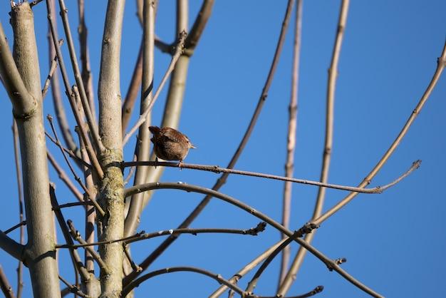 겨울에 나무에 자리 잡은 작은 굴뚝새(트로글로다이테스 트로글로다이테스)