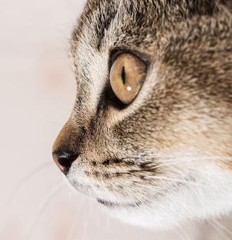 鼻の先端若い純血種の猫イギリスのチンチラ、クローズアップ