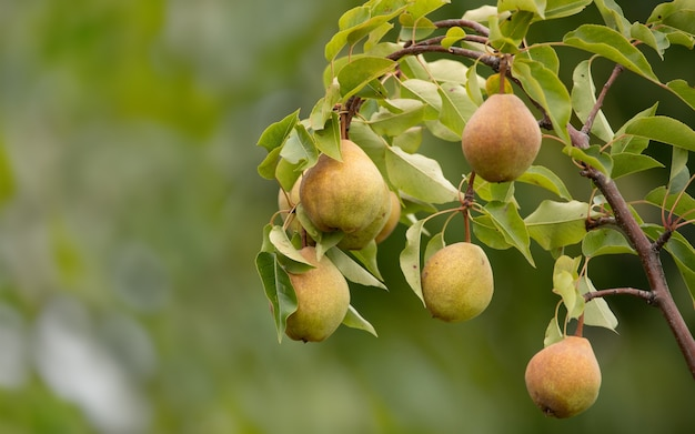 Желтые сочные груши на дереве.