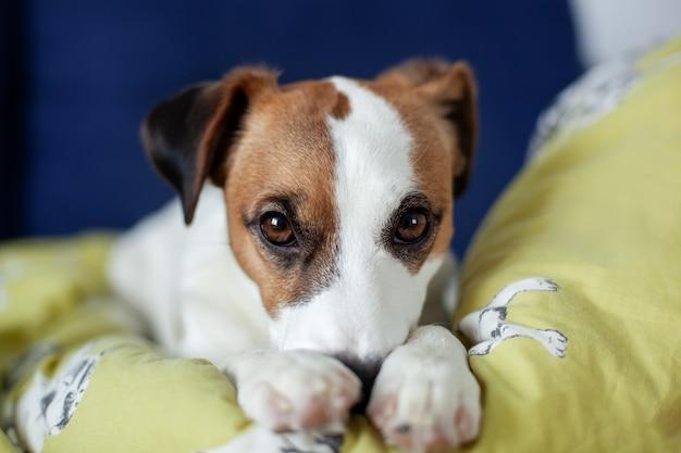 疲れて怠惰なジャックラッセルテリア犬が眠りに落ちる、ソファーに横になっている、自宅でリラックス、クローズアップ。家の所有者を待っている犬。リビングルームのソファの上の犬のペット、疲れて悲しい退屈な孤独な病気。