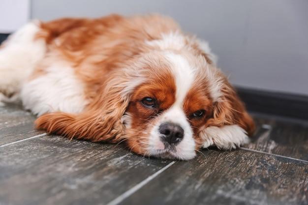 Усталая собака лежит на полу. щенок кавалер кинг чарльз спаниеля в домашних условиях. питомец болен