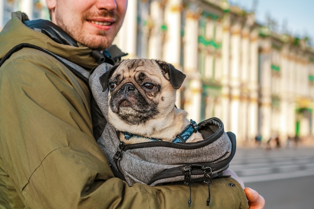 A tired pug sits in a backpack in the arms of its owner man, concept of traveling with a dog