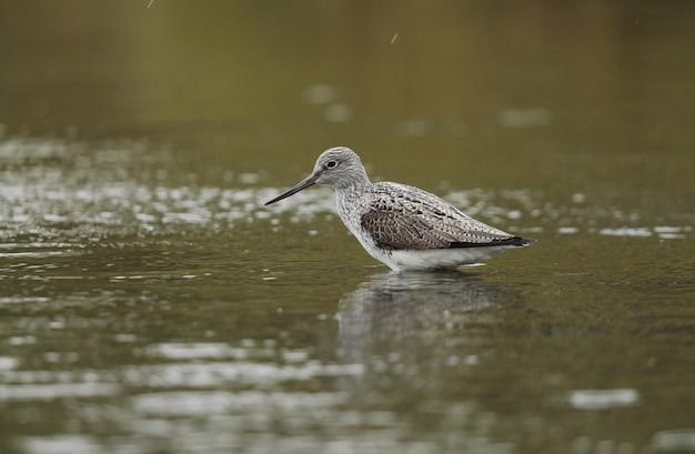 Tired spring migrant common greenshank
