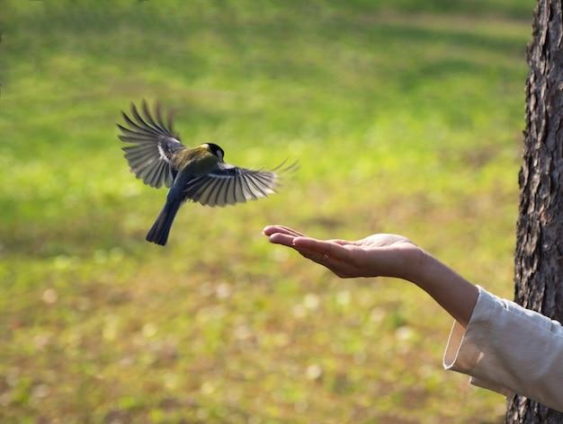 公園で女性の手にシジュウカラ。閉じる。鳥は彼の手から食べ物を食べる。自然の中で鳥に餌をやる。