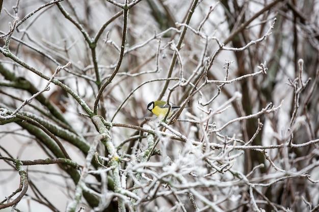 Синица, парус на ветке дерева в поисках корма для птиц зимой