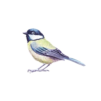 Tit watercolor bird. chickadee illustration isolated on white background.