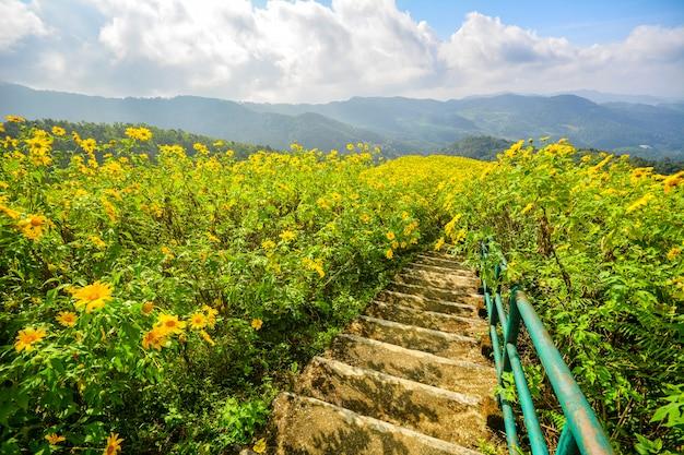 Tithonia diversifolia, мексиканский солнцецвет, желтое поле цветков в mae hong son, северном таиланде.