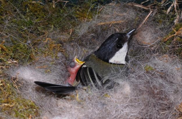 Titmouse on nest