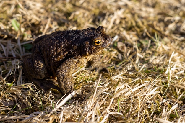 A toad basks in the sun on the yellow autumn grass in the rays of the sun