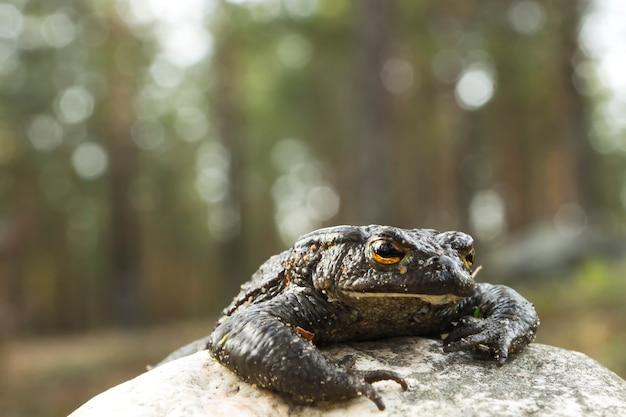 森の中の石、ボケからヒキガエルが這い出します