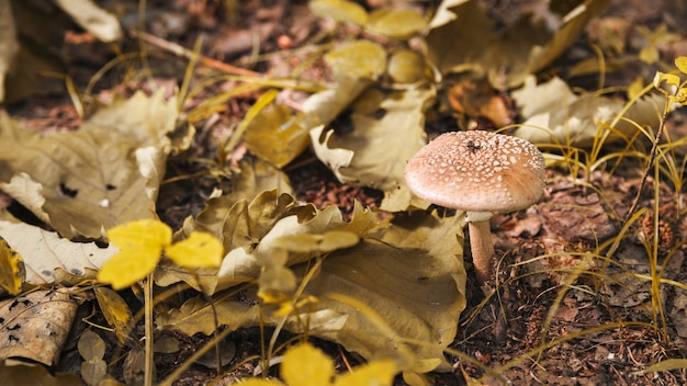 Toadstool in forest with dried leaves