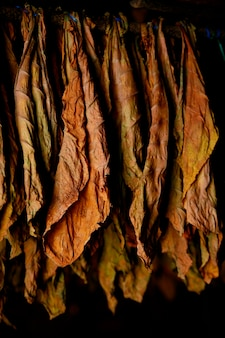 Tobacco leaves hanging in cigar factory