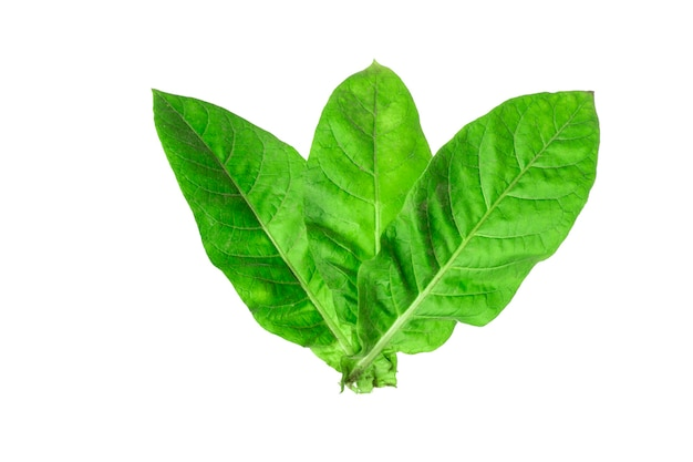 白い背景の上のタバコの葉