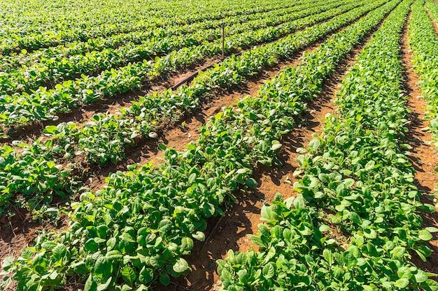 쿠바 비날레스 계곡의 농장에서 담배 새싹이 일렬로 자라고 있습니다. 아름 다운 시골 풍경입니다. 쿠바 농업. 시가의 생산 과정